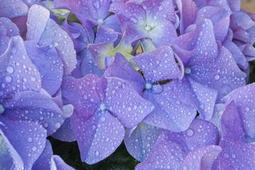 Indigo blue hydrangea.Macro.