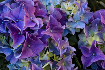 Purple and indigo hydrangea.Spring background.
