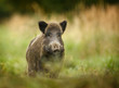 Wild boar walking through forest