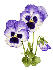Watercolor with Pansies