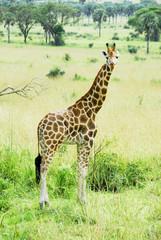 Rothschild giraffe, Murchison Falls National Park (Uganda)