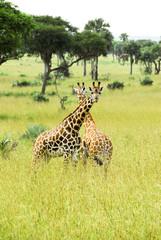 Rothschild giraffes, Murchison Falls National Park (Uganda)