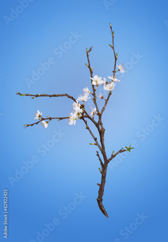 Spring blackthorn, sloe blosson, white on blue background