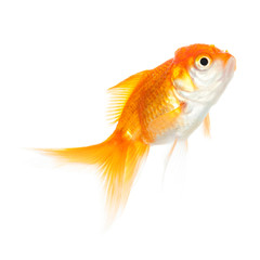 Close up of swimming goldenfish, isolated on white
