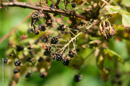 Wild Blackberries Stems Branches