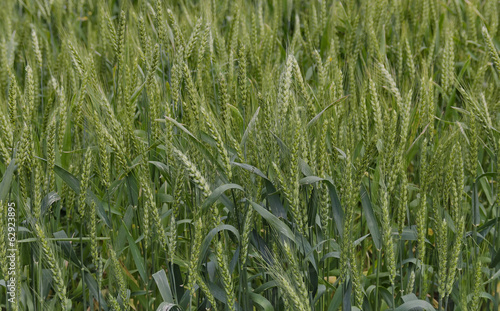 Summer-time view with wheat field close up, Ludogorie, Bulgaria