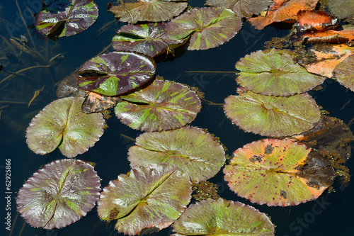 Lily Pads on a Calm Pond