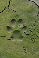 dog  tracks in cracked mud