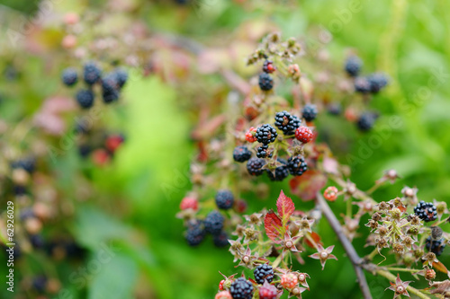 Organic ripe blackberries on bunch