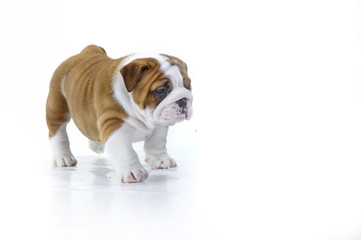 Cute english bulldog dog puppy