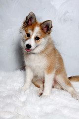 Norwegian lundhund dog
