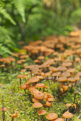 Xeromphalina mushrooms
