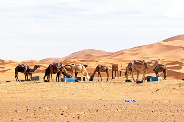 Camels in the  desert from Morocco