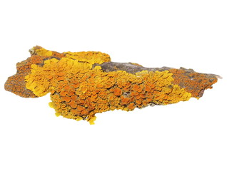 Lichen on bark of walnut isolated on white, Xanthoria parietina