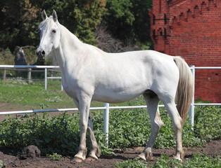 White horse Orlov trotter mare