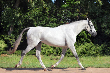 Hanoverian horse trotting