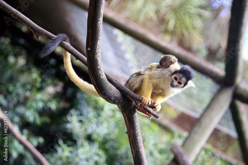 Black-capped Squirrel Monkey with Baby