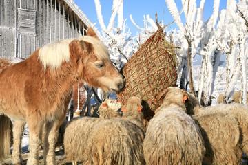 sheep skudde and horse haflinger