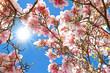 Obrazy na płótnie, fototapety, zdjęcia, fotoobrazy drukowane : Magnolia on a sunny, warm day