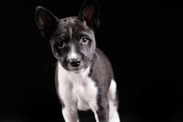 Basenji dog puppy isolated over black background