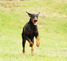 fun doberman pinscher dog running