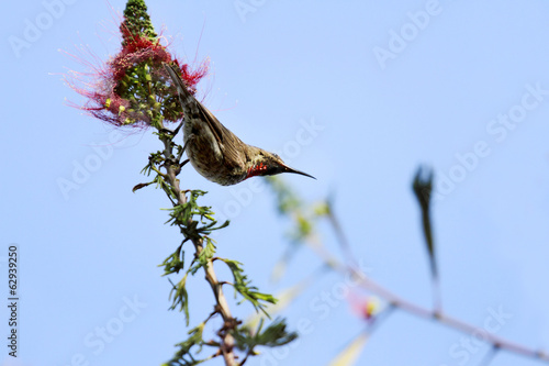 A Hunters sunbird near a red flower
