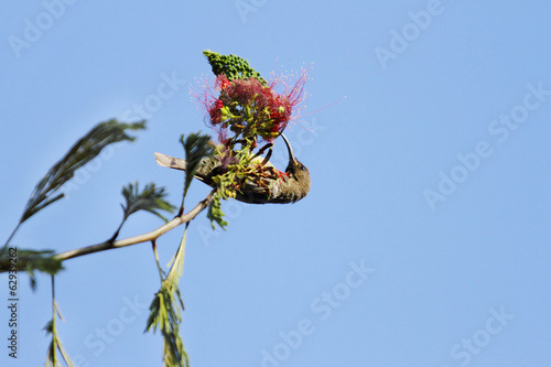 A beautiful Hunters sunbird feedin nectar