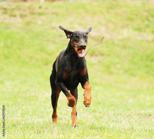 fun doberman pinscher dog running