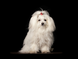 White Maltese dog is sitting on black background