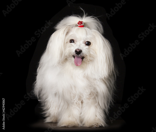 White Maltese dog is sitting on black background