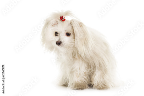 White Maltese dog is sitting on white background