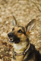 crossbreed bull german shepherd