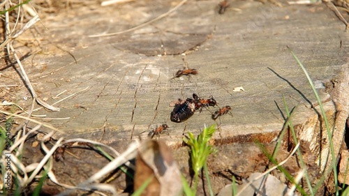 Ants take away, dead cockchafer in anthill