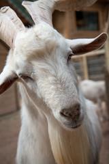 beyaz sakallı keçi