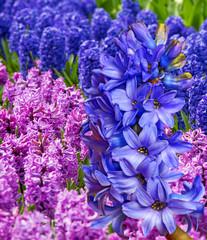 hyacinths in the garden
