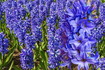 blue hyacinths in the garden