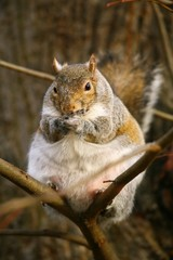 Fat grey squirrel on branch