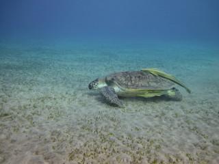 Sea turtle swimming over the sea bottom