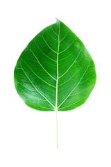 bodhi tree leaf