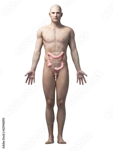 male anatomy illustration - the colon