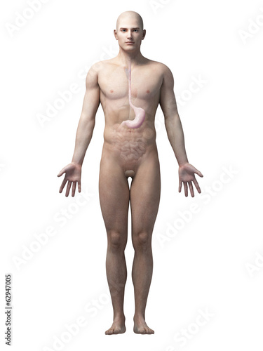 male anatomy illustration - the stomach