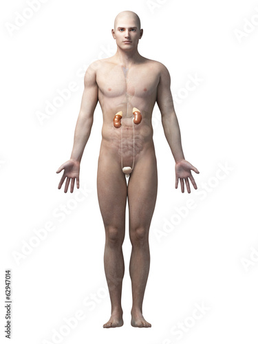 male anatomy illustration - the urinary system