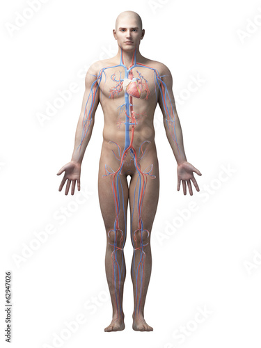 male anatomy illustration - the vascular system