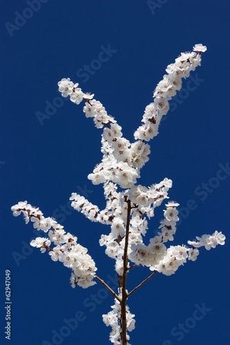 Flowering apricot on blue sky background