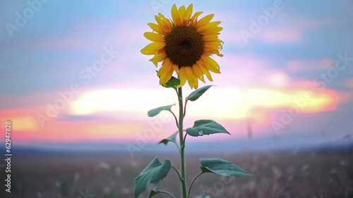 Sunflower, sunset shot