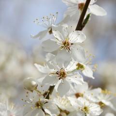 Pflaumenbaumbluete - plum blossom 79