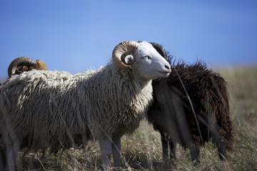 Schaf auf einer Weide