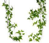 Set of two Ivy stems isolated over white.