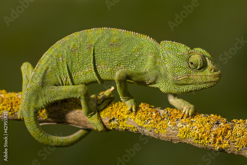 Staande foto Kameleon Close up view of a cute green chameleon on the wild.