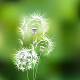 Abstract green background with  flower dandelion - 62958482